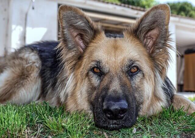 Insulinoma em Cães