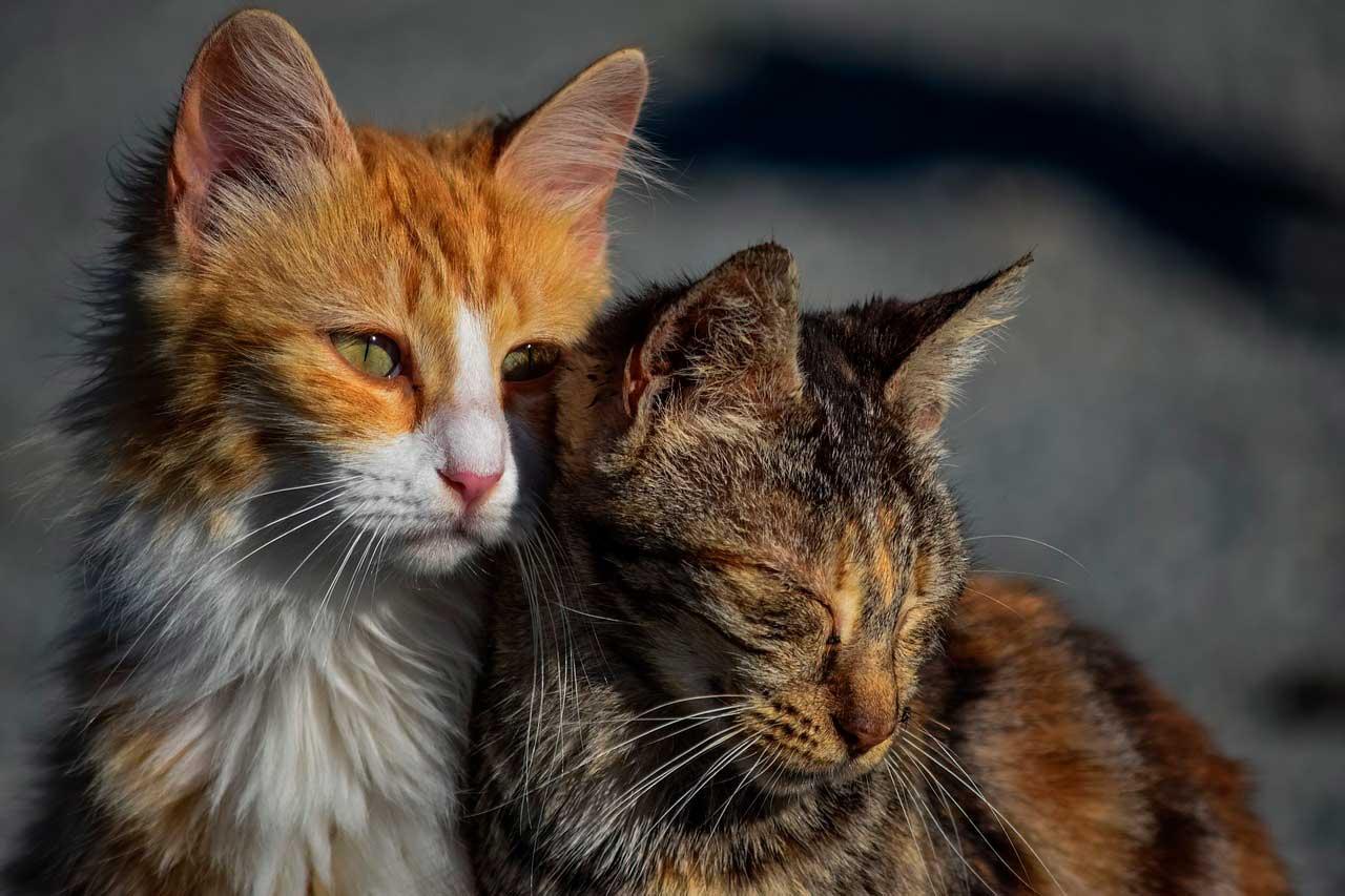 Intoxicação por inseticida em gatos