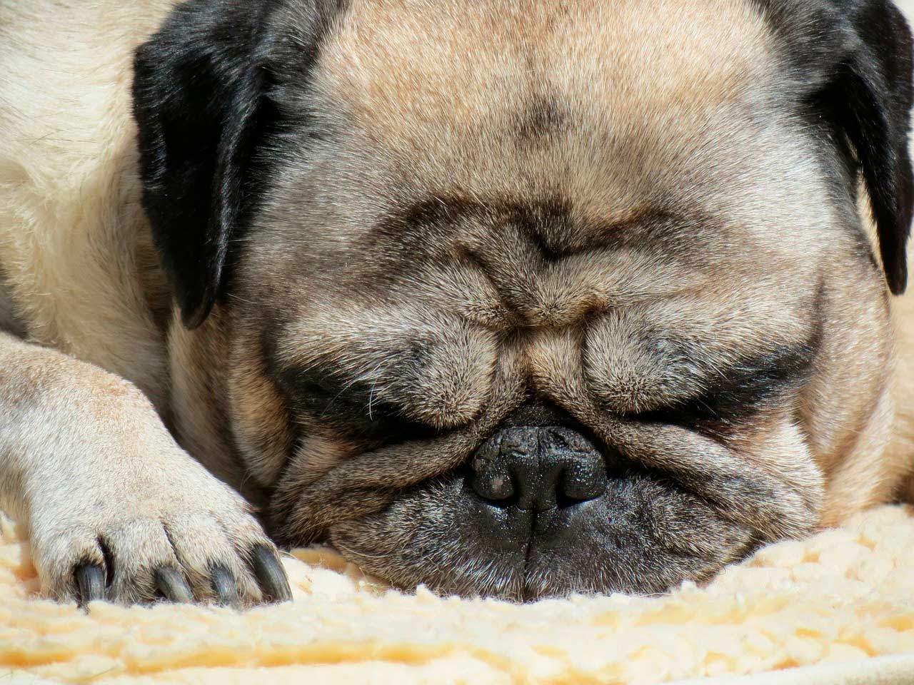 Irritação da pele em Pug