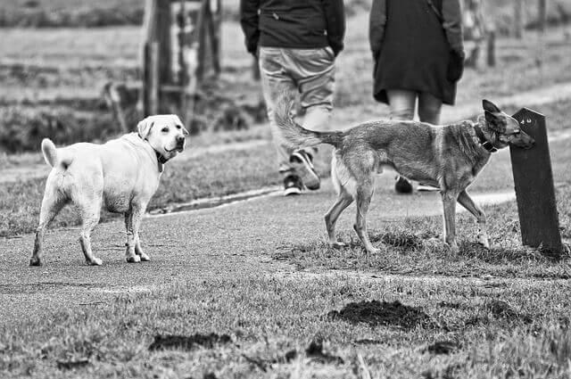 Leptospirose em cães