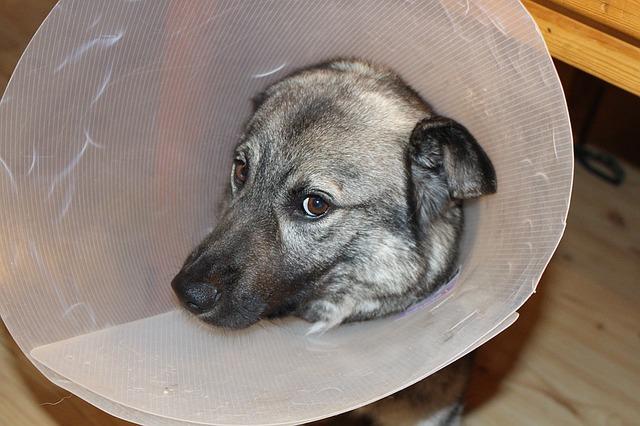 Lesão do nervo ciático em cães