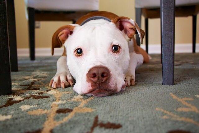 Lesões por Choque Elétrico em Cães