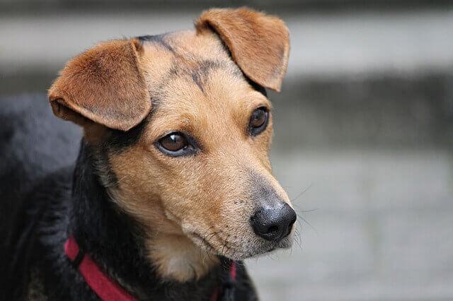 Leucemia linfoblástica aguda em cães