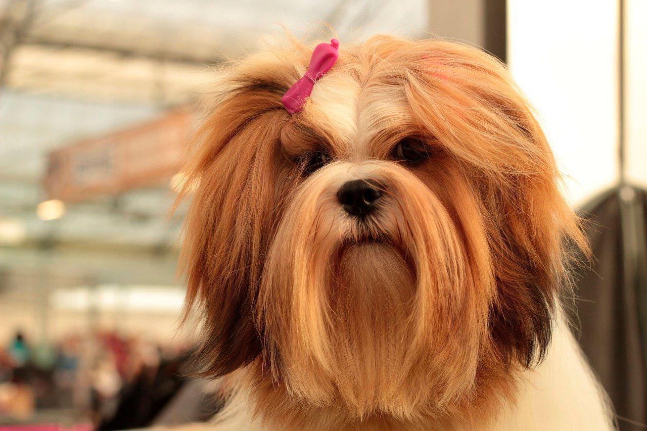 Lhasa apso é uma raça de cachorro hipoalergênica?