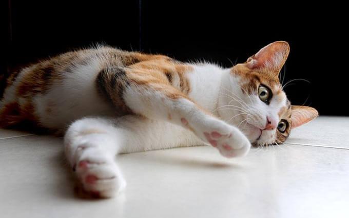 Por que as Línguas dos Gatos são Ásperas