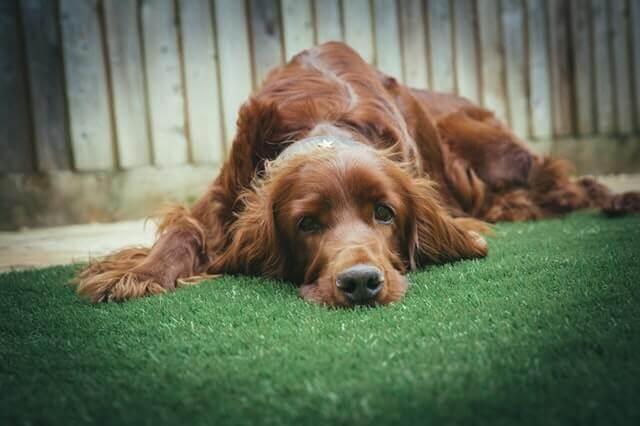 Loperamida para tratar diarreia em cães