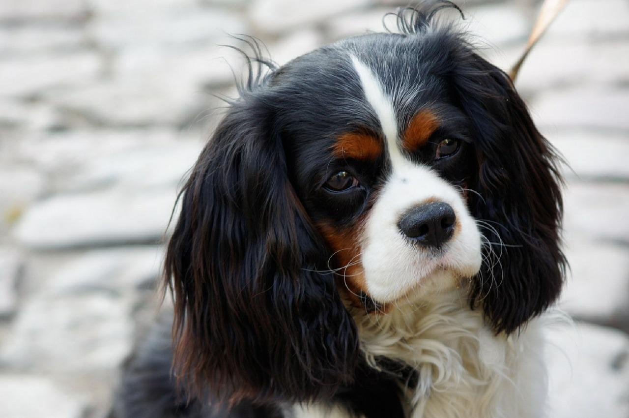 Malformações de Chiari em cães