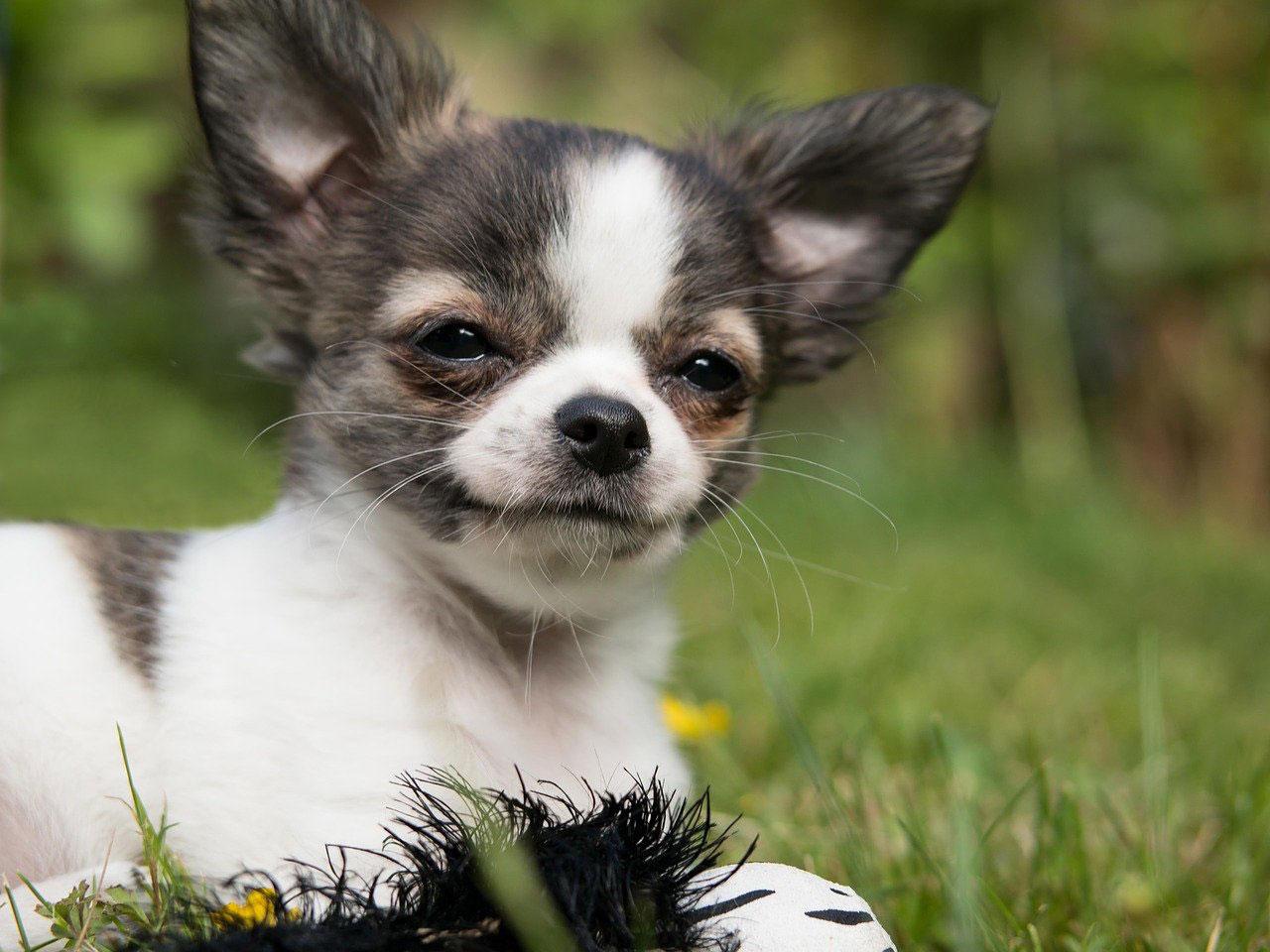 Manchas lacrimais no Chihuahua | Causas, Prevenção e Tratamento