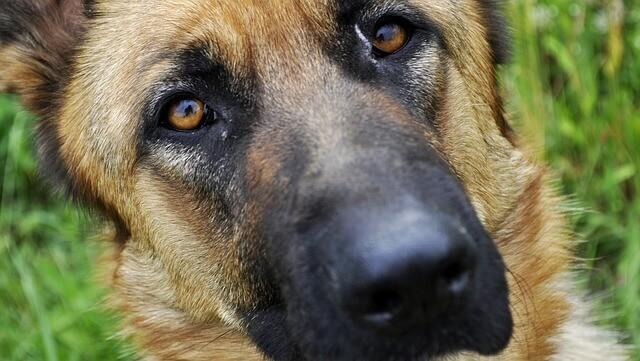 Manchas nebulosas no olho de um cão