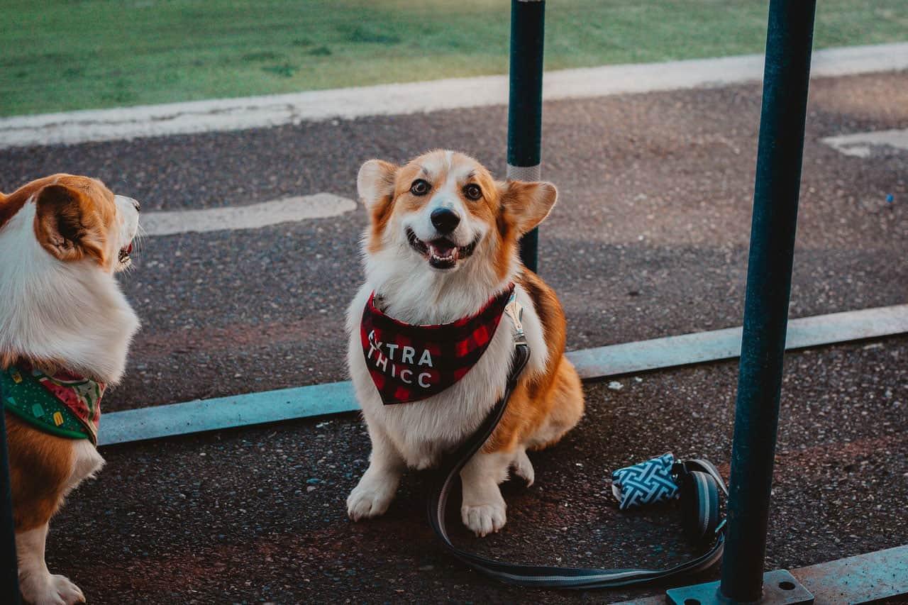 Medicação para dor | Reação alérgica no cão