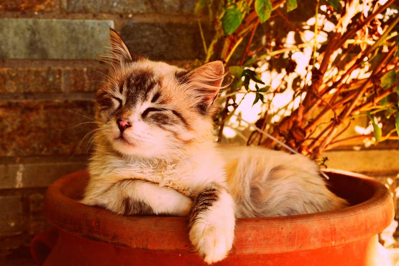 Medicamentos homeopáticos para gatos com ansiedade de separação