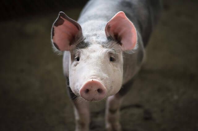 Meu cachorro pode comer carne de porco?