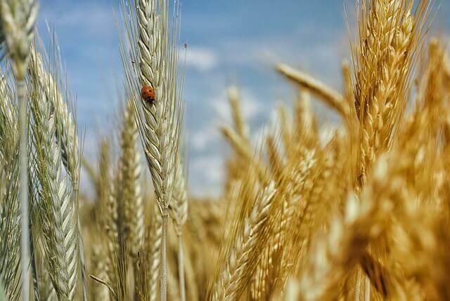 Meu cachorro pode comer trigo?