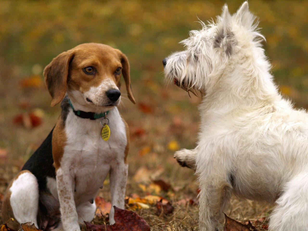 Meu cachorro pode pegar o coronavírus?