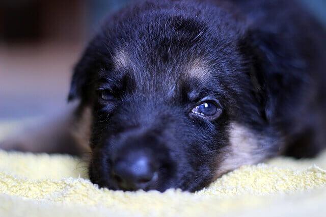 Meu cachorro pode tomar Rimadyl (Carprofeno)?