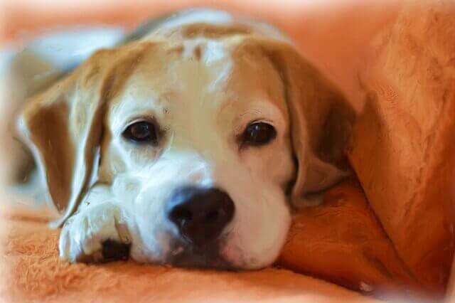 Mielofibrose em cães