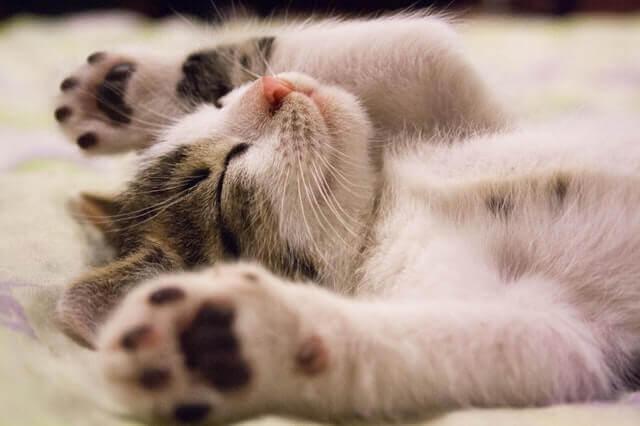 Músculo involuntário que treme em gatos