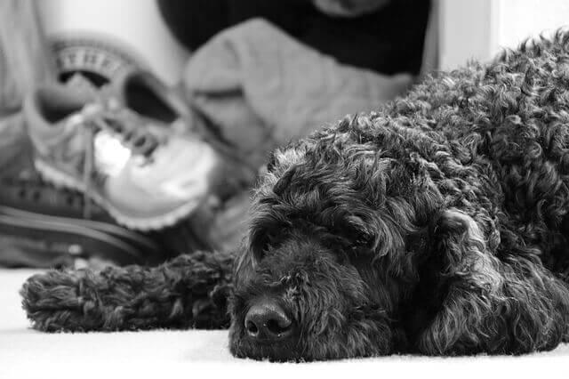 O meu cão tem uma reação alérgica à medicação para dor?