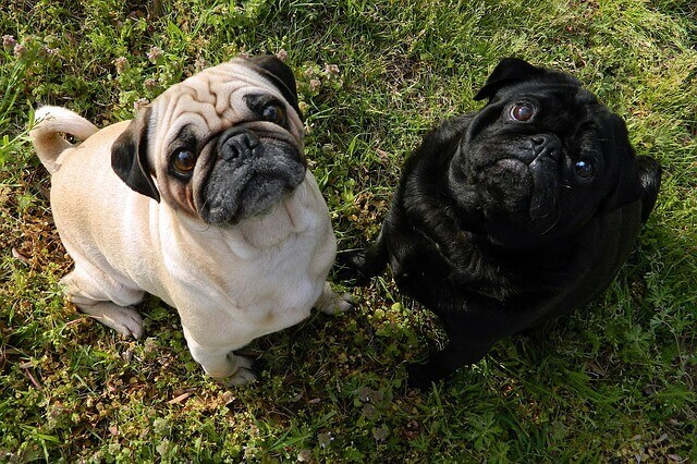 O que causa cegueira repentina em cães mais velhos?