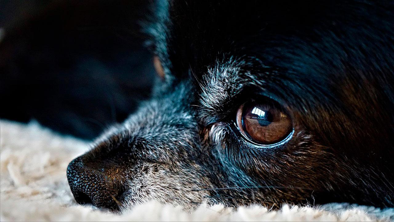 O que causa convulsões em Chihuahuas?