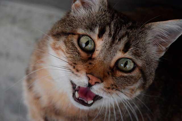 O que é estomatite em gatos e seu gato pode estar em risco?