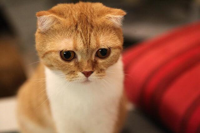 O que é osteocondrodisplasia em gatos?