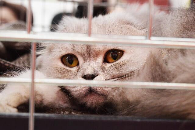 O que faz os gatos vomitarem?