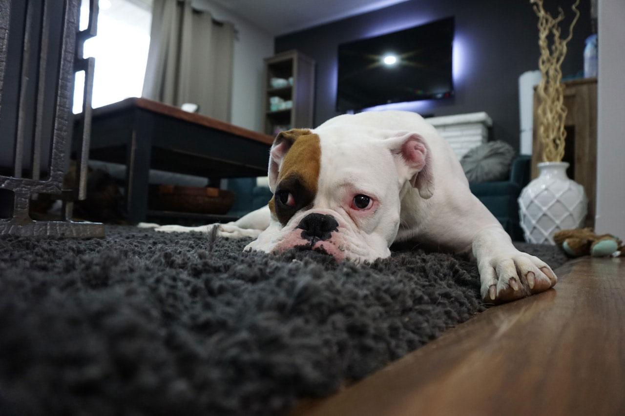 Obesidade em cães e gatos | Riscos para a saúde