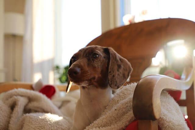 8 maneiras de ajudar os cães com dor nas costas