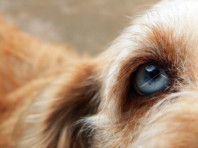 8 problemas oculares comuns em cães