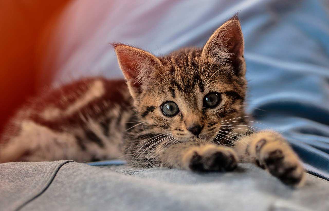 Óleo de cártamo para gatos