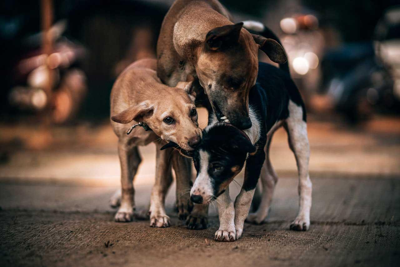 Óleos essenciais para cães
