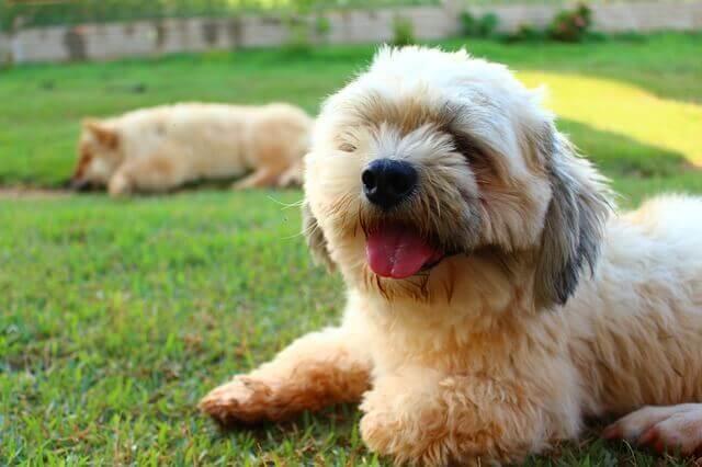 Olhos lacrimejantes em cães