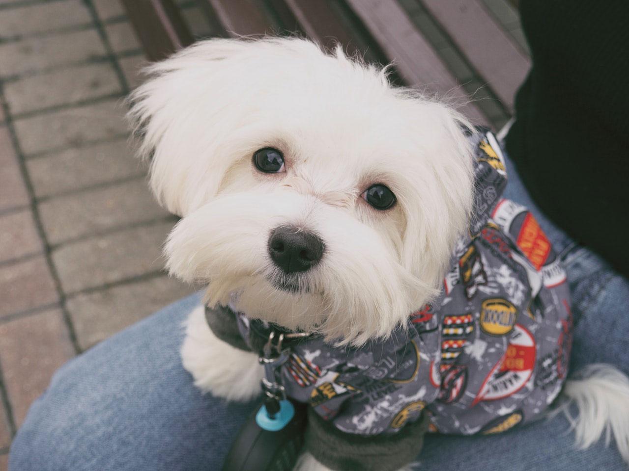 Os cães malteses latem muito?