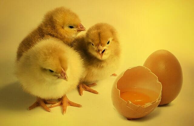Os cães podem comer ovos?