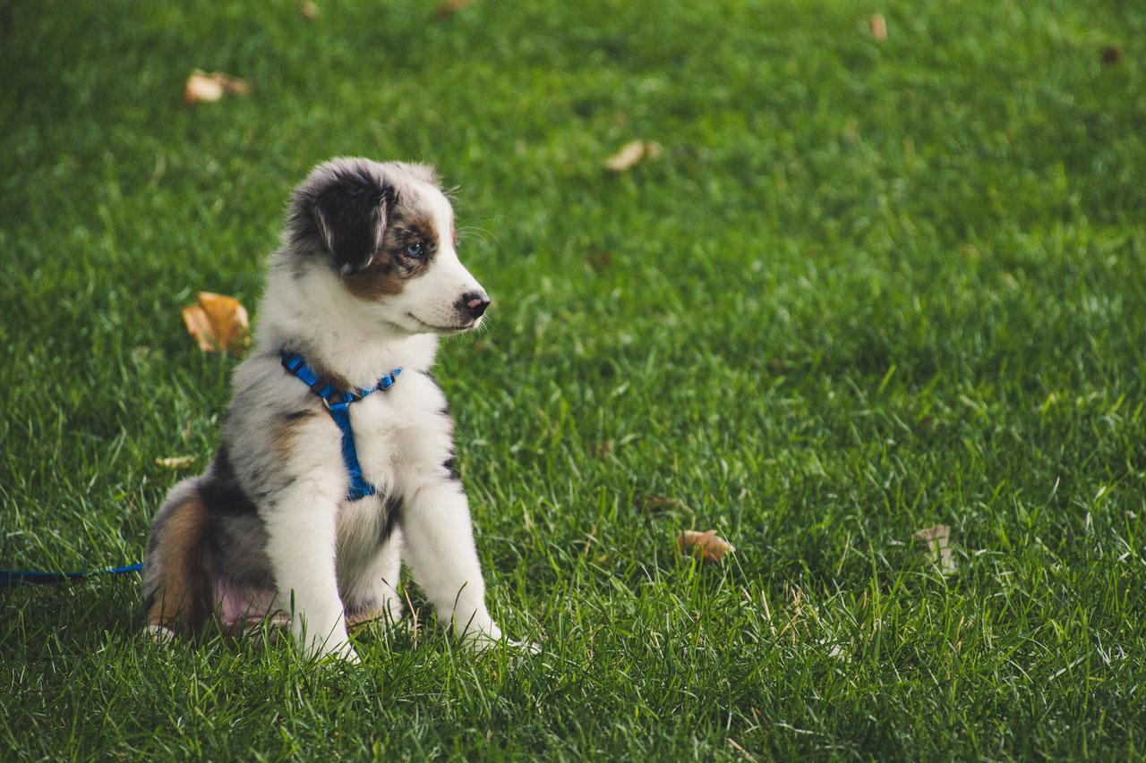 Os cães podem nascer com Parvo?