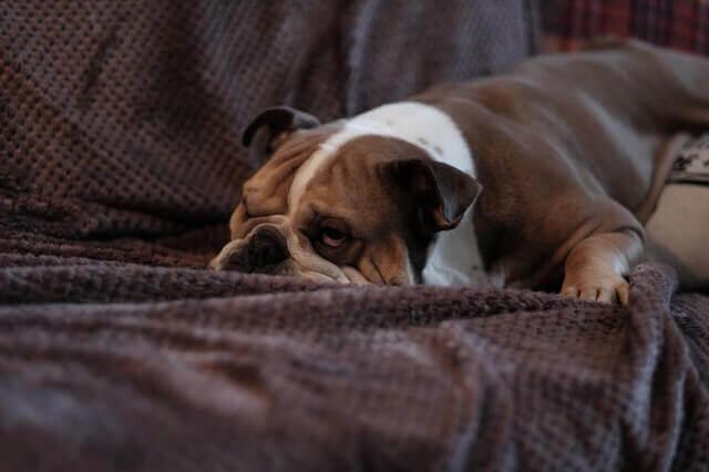 Os cães realmente assistem e reagem à televisão?