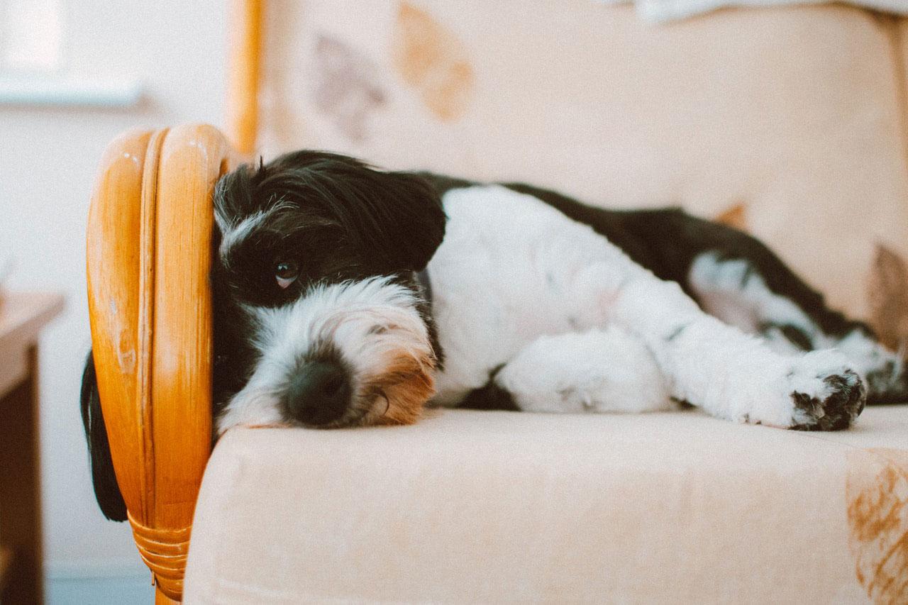 Cães e Sono | Os cães têm pesadelos?