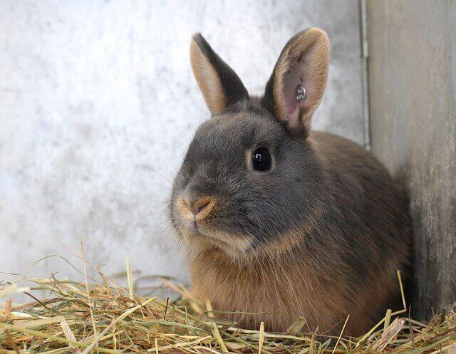 Os coelhos podem comer presunto ou outros produtos à base de carne?