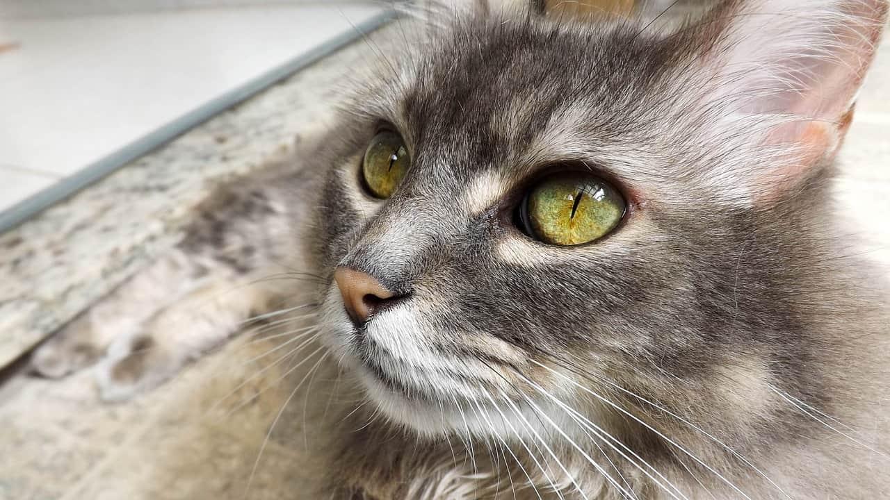 Os espirros dos gatos são contagiosos?
