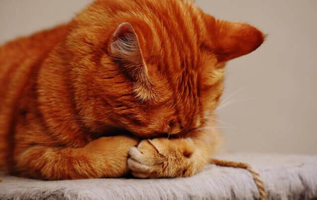 Os gatos choram?