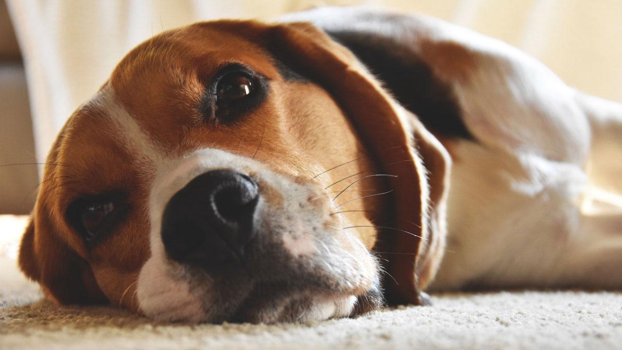 Osteogênese Imperfeita em Cães | Causas, Sintomas e Tratamento