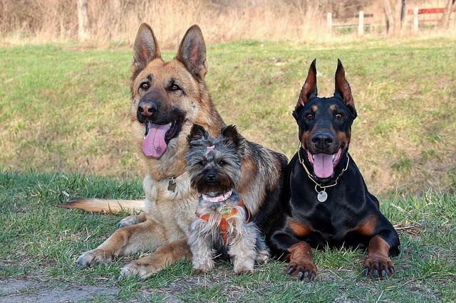 Panosteíte em cães | Os cães experimentam dores de crescimento?