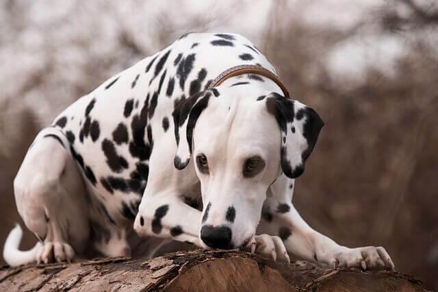 Pedras na bexiga em cães