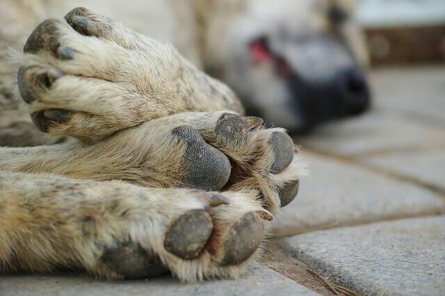 Peritonite em cães: sintomas e tratamento