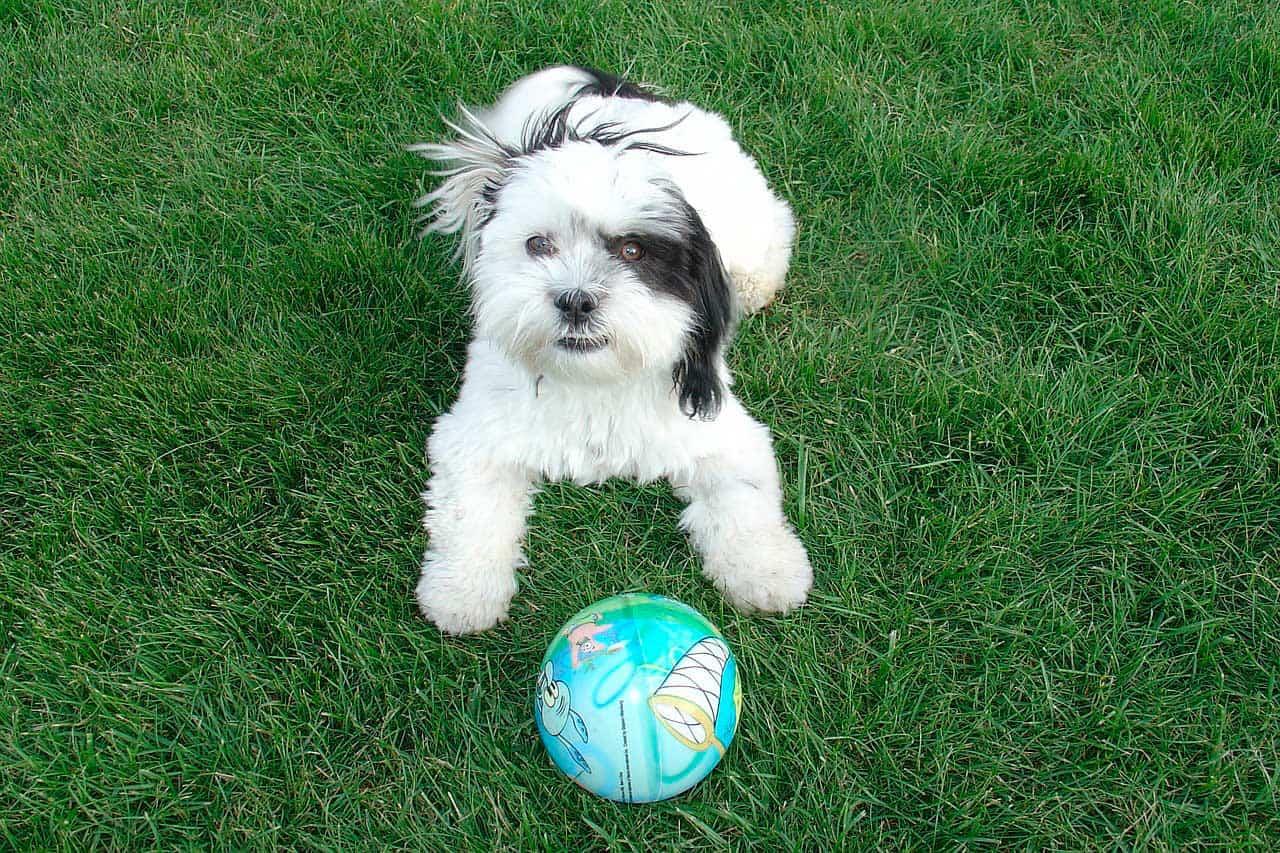 Personalidade do cão da raça Shih Tzu