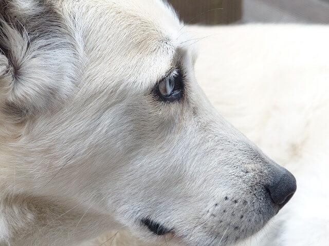 Pneumonia Fúngica (fungos) em cães
