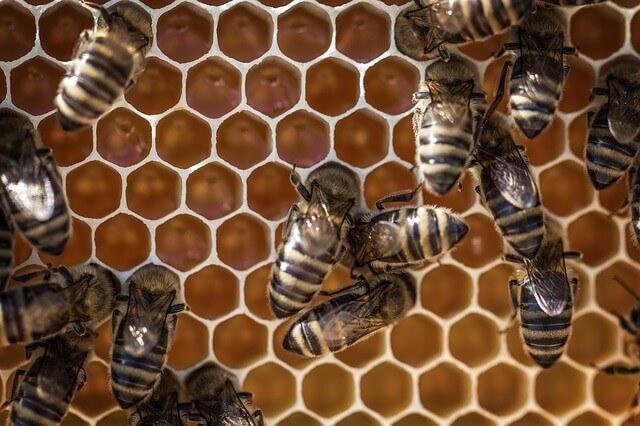 Picada de abelha - Por que as abelhas picam?