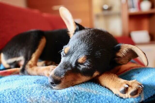 Por que os cães gostam de dormir nos pés?