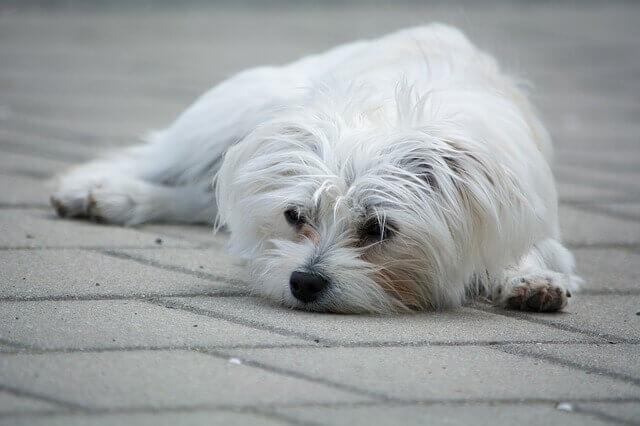 Por que os cães malteses tem com coceira na pele?